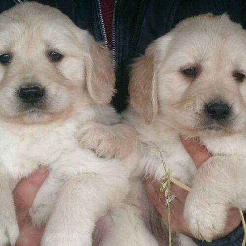 فروش توله سگ گلدن رتریور