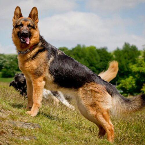 فروش سگهای اصیل ژرمن شپرد