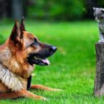 فروش سگ روتوایلر نگهبان همیشگی توله و بالغ