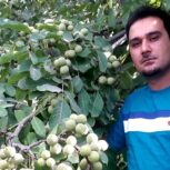 فروش انواع نهال گردو و میوه