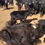 فروش گوساله گاومیش 2 الی 3 ماهه همراه با مادرشان