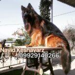 فروش سگ ژرمن کینگ ، سگ ، فروش ویژه ژرمن شپرد کینگ دوسر شجره