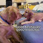 فروش توله گلدن رتریور –  فروش سگ گلدن رتریور مولد و اصیل