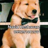 فروش سگ گلدن رتریور – مهربان ترین پرستار کودکان سگ گلدن رتریور