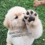 فروش سگ گلدن ، فروش انواع توله مولد بالغ نروماده سگ گلدن رتریور