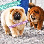 قیمت چاوچاو – فروش سگ چاوچاو پاندا و سگ چاوچاو خرسی