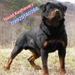 قیمت سگ روتوایلر ، فروش توله روتوایلر اصیل با قیمت مناسب