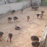 فروش 30 قطعه جوجه شتر مرغ 40 روزه